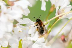 Bee collecting pollen in white blossoms. Macro of a bee collecting pollen in white blossoms royalty free stock photos