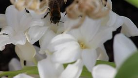 Bee collecting pollen from a white flower stock video footage