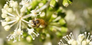 Honey Bee collecting pollen on blurred bokeh background. Bee collecting pollen on White flower with blurred green background photo royalty free stock image