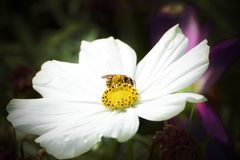 Bee collecting pollen from a white flower in the meadow. Macro and empty copy space. For Editor`s text royalty free stock images