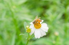 Bee collecting pollen from white flowers. With green leaves background royalty free stock photography