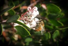 Bee Collecting Pollen From A White Manzanita Flower High Quality. Stock Photo stock photography
