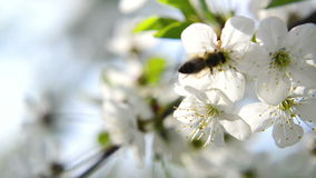 Bee collecting pollen from white pear blossoming flowers Royalty Free Stock Photography