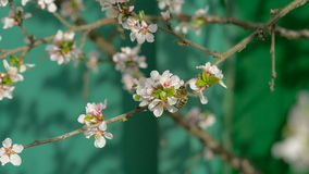 Bee collecting pollen from white pear blossoming flowers. stock video footage