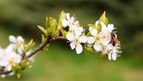Bee collecting pollen from white plum blossoming flowers. stock video footage