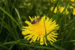 Bee collecting pollen on yellow dandelion royalty free stock image