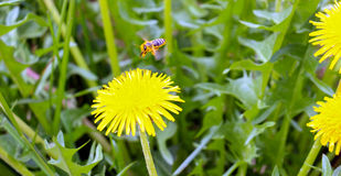 Bee collecting pollen on a yellow dandelion flowers in spring Stock Photography
