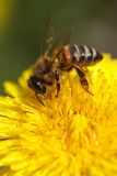 Bee collecting pollen on yellow dandelion. macro. Royalty Free Stock Image