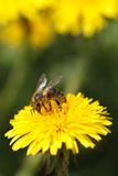 Bee collecting pollen on yellow flower dandelion Stock Photos