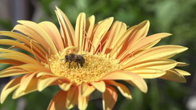 Bee collecting pollen on yellow flower stock video footage
