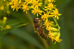 Bee collecting pollen. From yellow goldes n rod flower stock photos