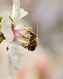 Bee collecting on the stamens of wet almond flower Royalty Free Stock Images