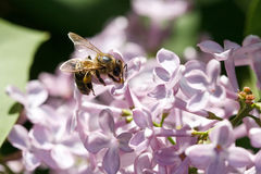 A bee Stock Photography
