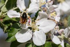 A bee collects ardent Royalty Free Stock Image
