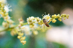 bee collects flower nectar from longan flower Royalty Free Stock Images