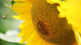 Bee on sunflower stock video footage