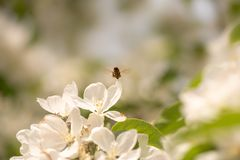 Bee collects honey in apple blossom royalty free stock photography