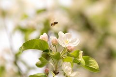 Bee collects honey in apple blossom - honeybee in front of blue sky stock images