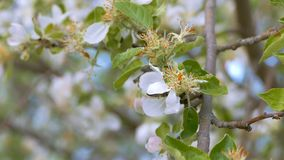 Bee collects honey with apple blossom slow motion video stock video