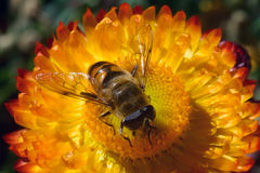 The bee collects honey from bright yellow flower: a striped insect with transparent wings and large eyes sits in the center of the Royalty Free Stock Photography