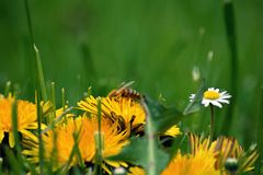 Bee collects honey with dandelions Stock Images
