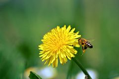 Bee collects honey with dandelions Stock Image