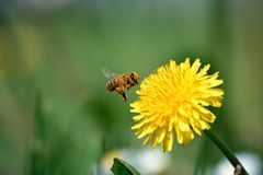 Bee collects honey with dandelions Royalty Free Stock Photos