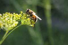 Bee on a branch of dill stock image