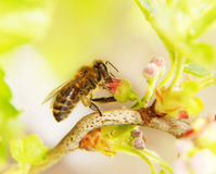 Bee collects honey on a  flower Stock Photos