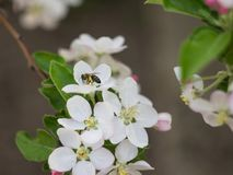 Bee collects honey on the flowers of apple royalty free stock photo