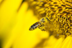 The bee collects honey from the flowers. Of the sunflower Stock Images