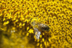 The bee collects honey from the flowers. Of the sunflower Stock Image