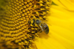 The bee collects honey from the flowers. Of the sunflower Royalty Free Stock Photos