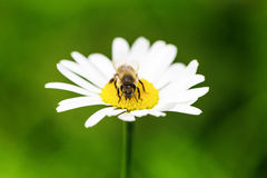Bee collects honey. On the green lawn Royalty Free Stock Photography