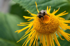 Bee collects honey. On orange flower royalty free stock image