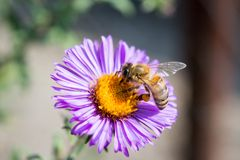 The bee collects honey and pollinates the flower royalty free stock photography