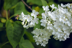 Bee collects honey on a of white lilac Royalty Free Stock Photography