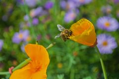 The bee collects honey from the yellow flower.  Stock Images