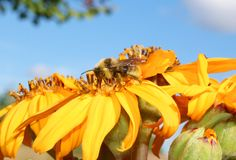 The bee collects honey Royalty Free Stock Photos