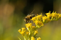 A bee collects nectar Royalty Free Stock Photography