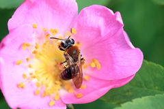 A bee collects nectar. Royalty Free Stock Image