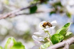 Bee collects nectar at Apple blossom. Bee collects nectar in the garden at Apple blossom Royalty Free Stock Photography