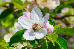 Bee collects the nectar from the apple blossom. Shallow dept Stock Photos