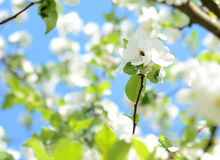 A bee collects nectar in apple blossom on a sunny day in spring Stock Images