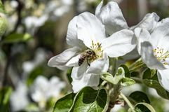 Bee collects nectar in apple blossoms closeup stock images