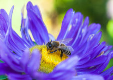 Bee collects nectar at beautiful flower asters. Abstract background. Space in background for copy, text, your words Stock Image