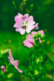 A bee collects nectar from the beautiful wild pink flowers lavatera Thuringian Stock Image