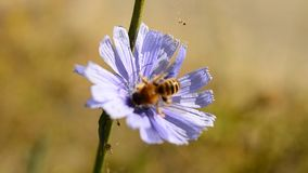 Bee collects nectar on blue chicory stock video footage