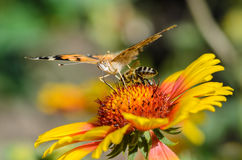 Bee collects nectar. A bee collects nectar on bright flower under the wing of butterfly Stock Images