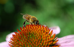 A bee collects nectar. In a canicular day a bee collects nectar Royalty Free Stock Images